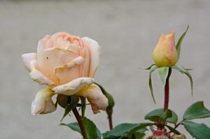 rose-508113_960_720